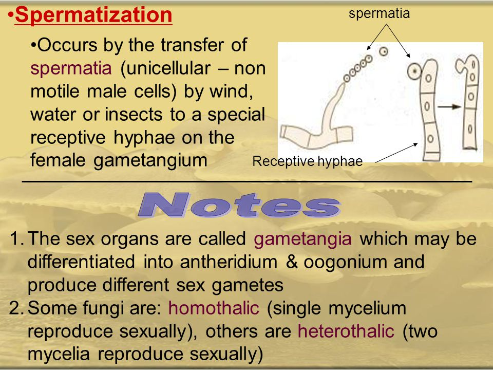 Spermatization Occurs by the transfer of spermatia (unicellular – non motile male cells) by wind, water or insects to a special receptive hyphae on th