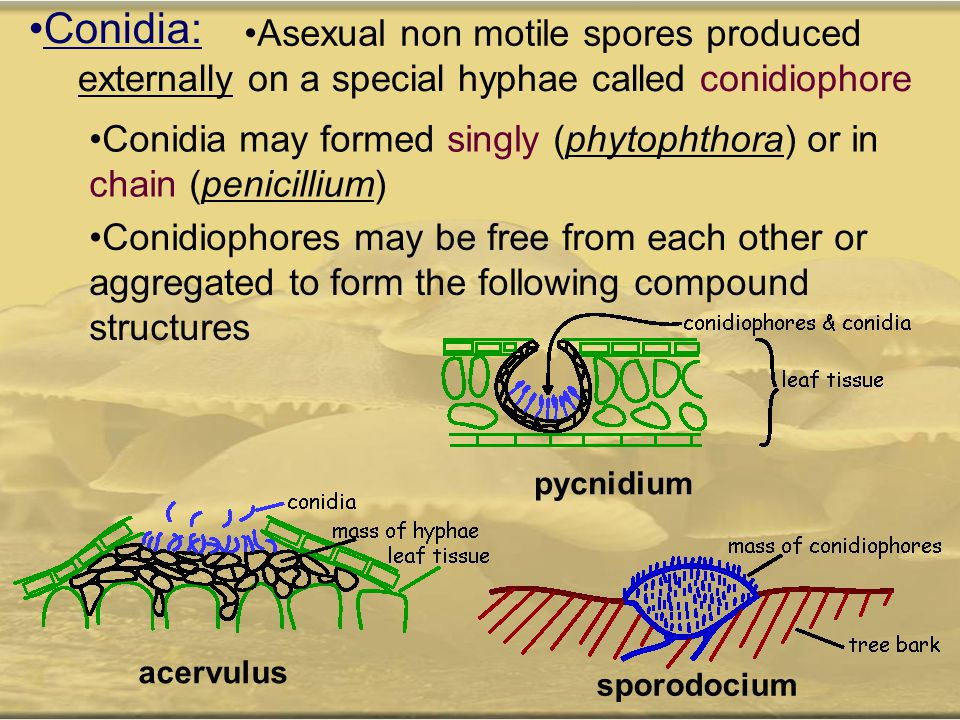 Conidia: Asexual non motile spores produced externally on a special hyphae called conidiophore Conidia may formed singly (phytophthora) or in chain (p