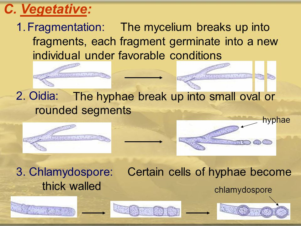 C. Vegetative: 1.Fragmentation:The mycelium breaks up into fragments, each fragment germinate into a new individual under favorable conditions 2. Oidi