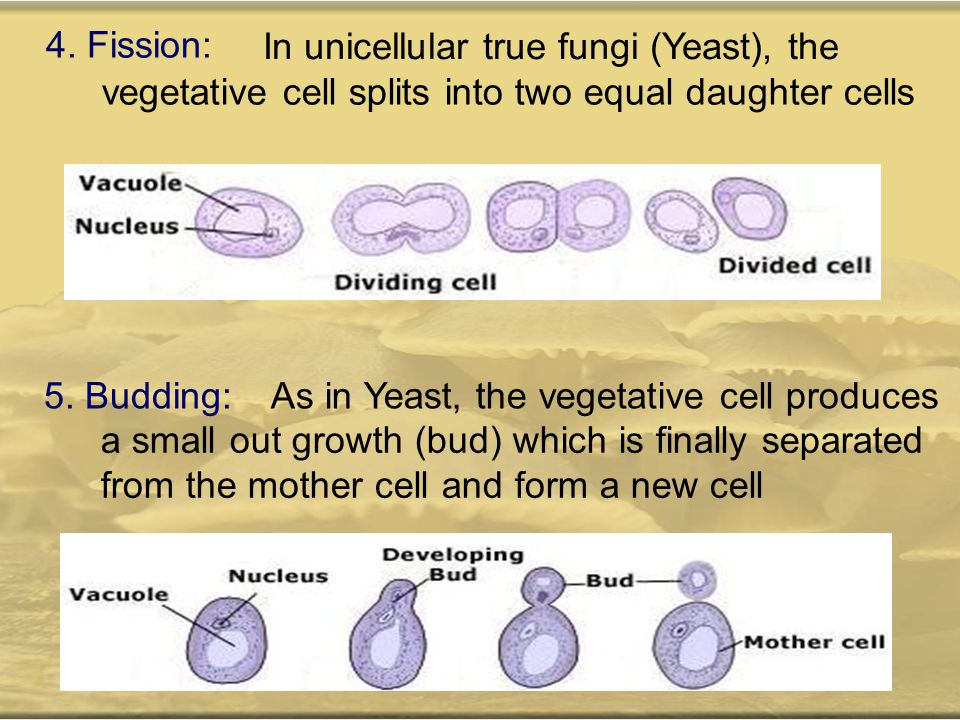 4. Fission: In unicellular true fungi (Yeast), the vegetative cell splits into two equal daughter cells 5. Budding:As in Yeast, the vegetative cell pr