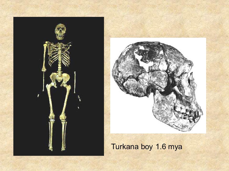 Turkana boy 1.6 mya