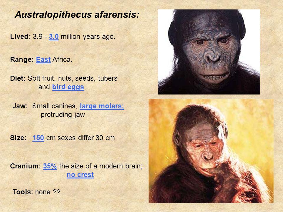 Australopithecus afarensis: Lived: 3.9 - 3.0 million years ago.