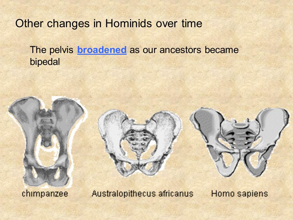 Other changes in Hominids over time The pelvis broadened as our ancestors became bipedal