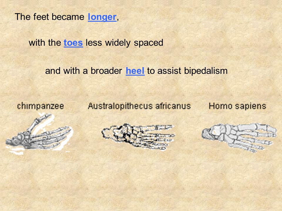 The feet became longer, with the toes less widely spaced and with a broader heel to assist bipedalism