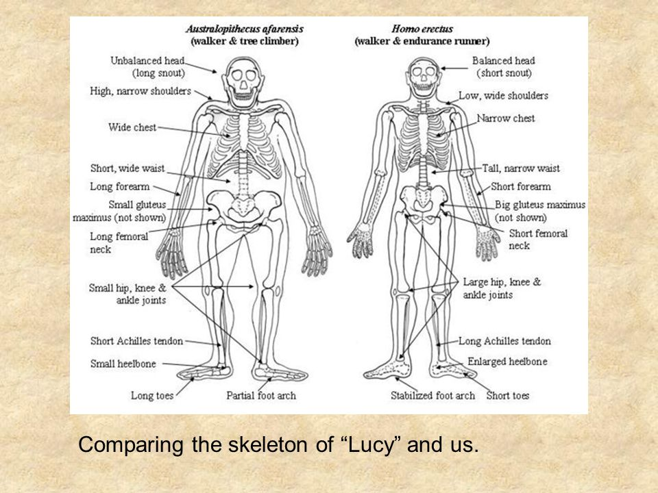 Comparing the skeleton of Lucy and us.