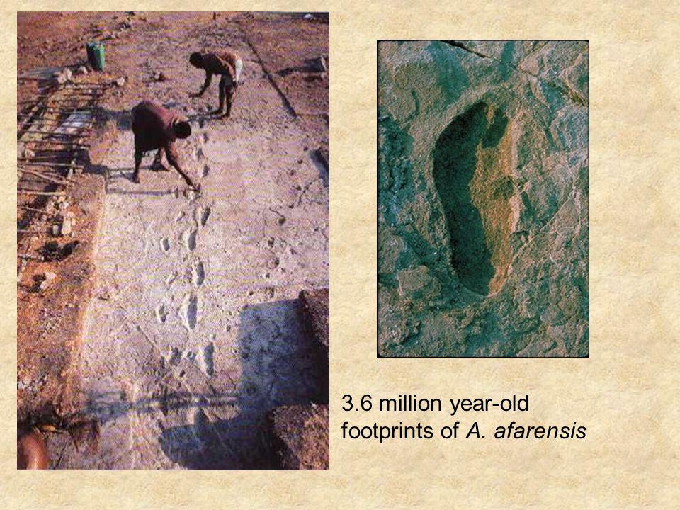 Australopithecus africanus: Lived: 3.0 – 2.4 million years ago.