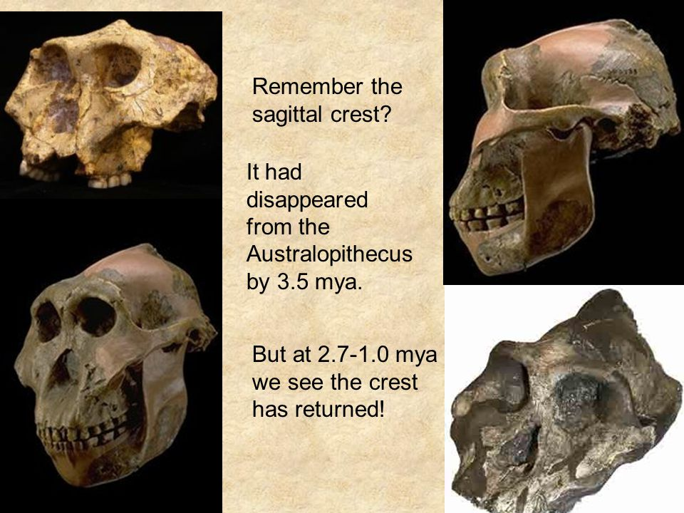 Remember the sagittal crest. It had disappeared from the Australopithecus by 3.5 mya.