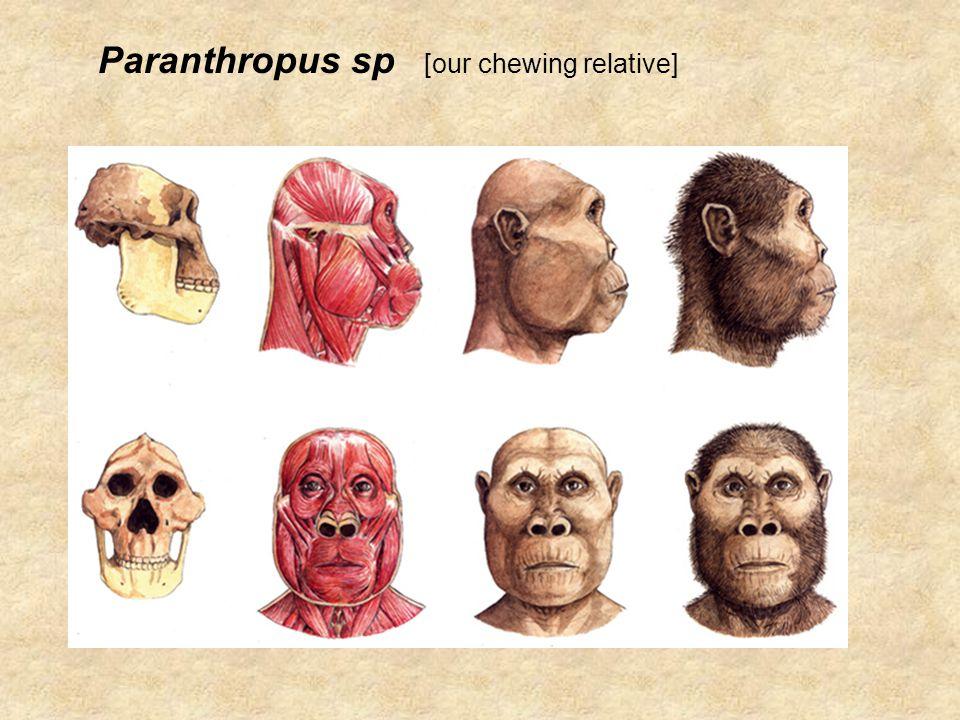 Paranthropus sp Lived: 2.7 - 1.0 million years ago.