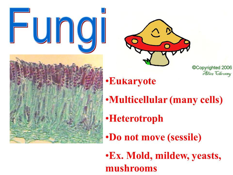 Eukaryote Multicellular (many cells) Heterotroph Do not move (sessile) Ex. Mold, mildew, yeasts, mushrooms