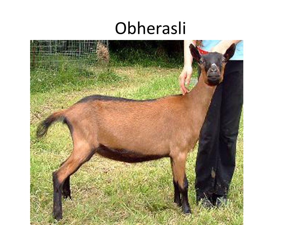 Obherasli