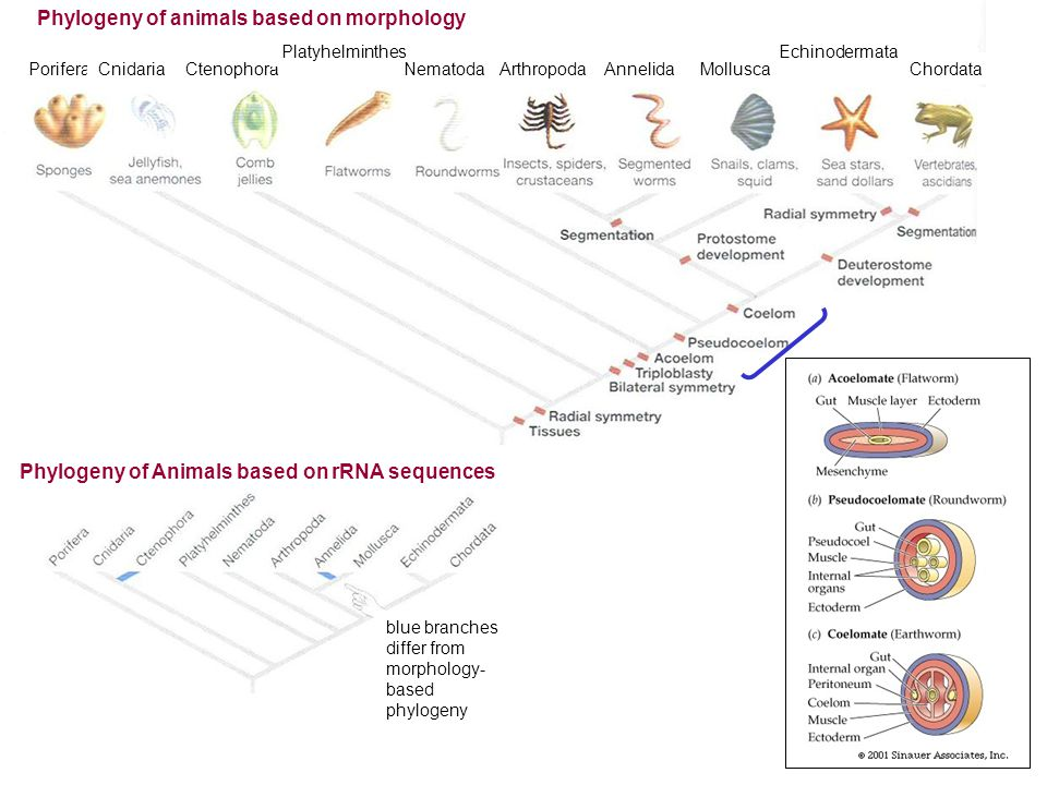 PoriferaCnidariaCtenophora Platyhelminthes NematodaArthropodaAnnelidaMollusca Echinodermata Chordata Phylogeny of Animals based on rRNA sequences Phyl