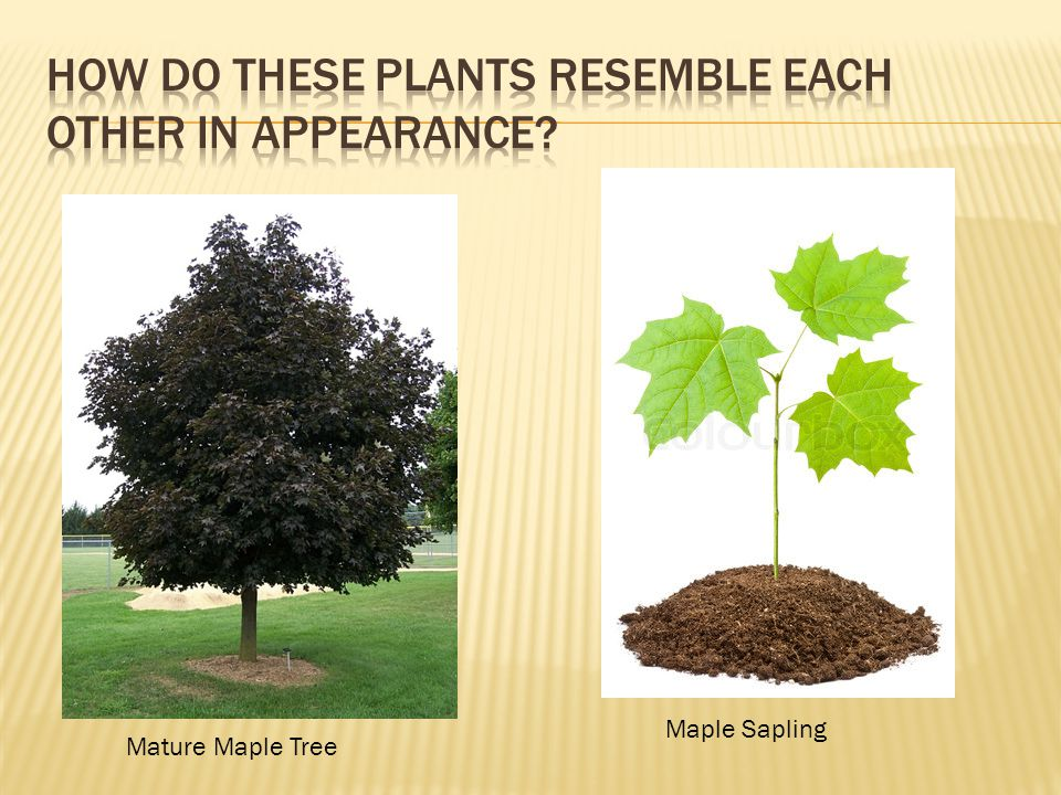 Mature Maple Tree Maple Sapling