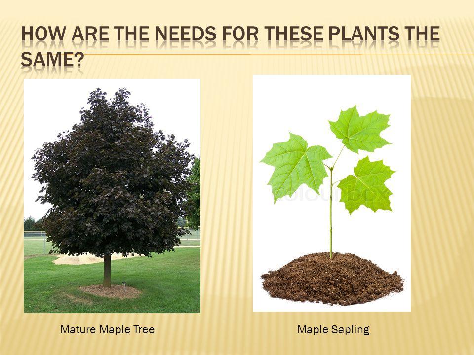Mature Maple TreeMaple Sapling