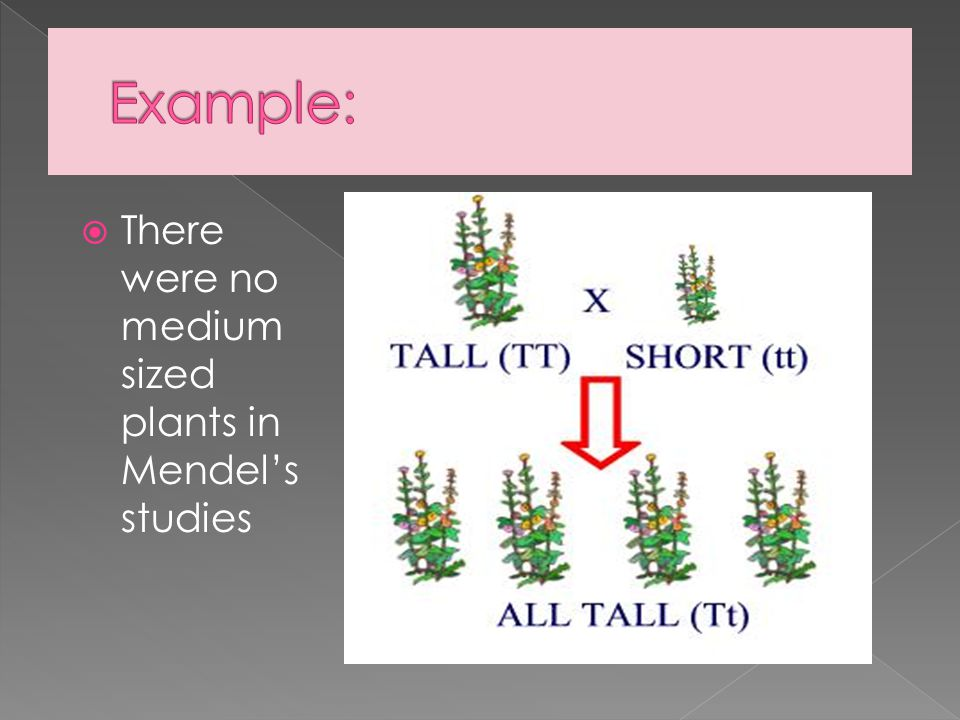  There were no medium sized plants in Mendel's studies