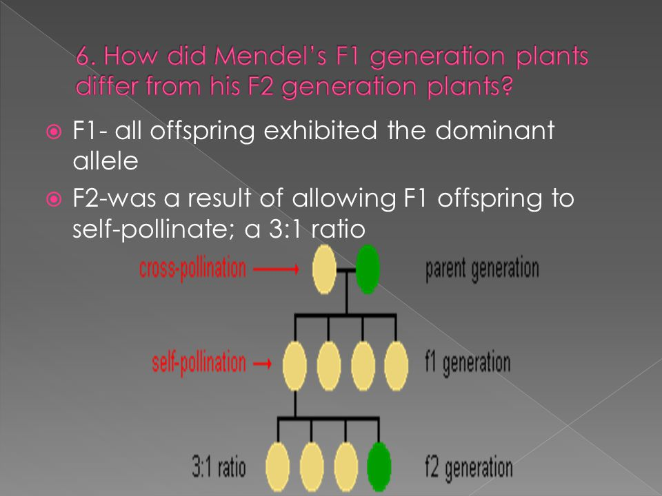  F1- all offspring exhibited the dominant allele  F2-was a result of allowing F1 offspring to self-pollinate; a 3:1 ratio