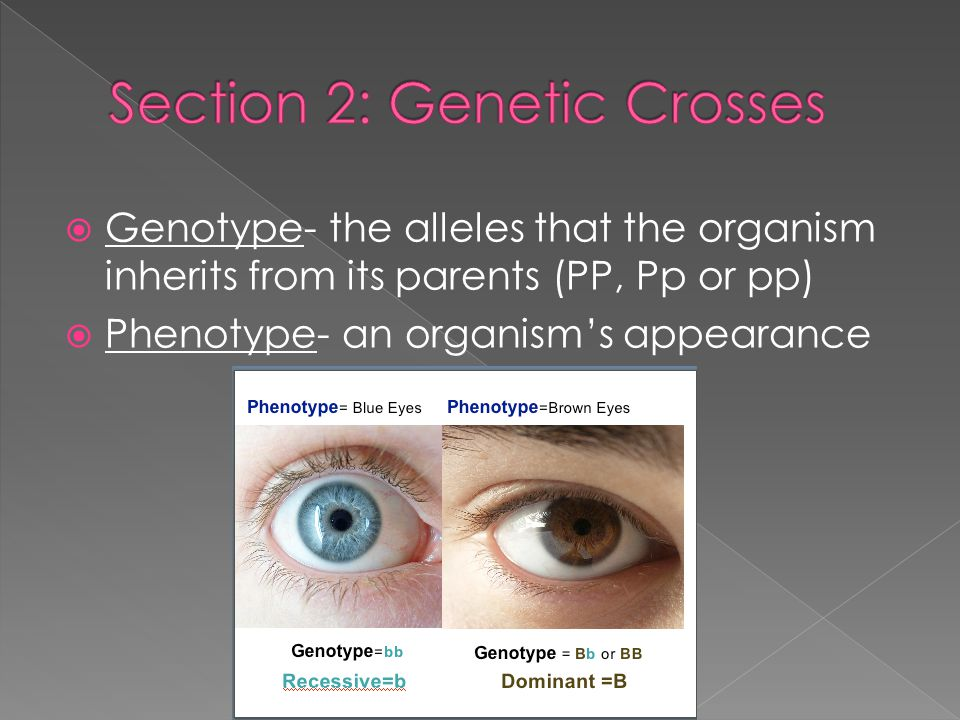  Genotype- the alleles that the organism inherits from its parents (PP, Pp or pp)  Phenotype- an organism's appearance