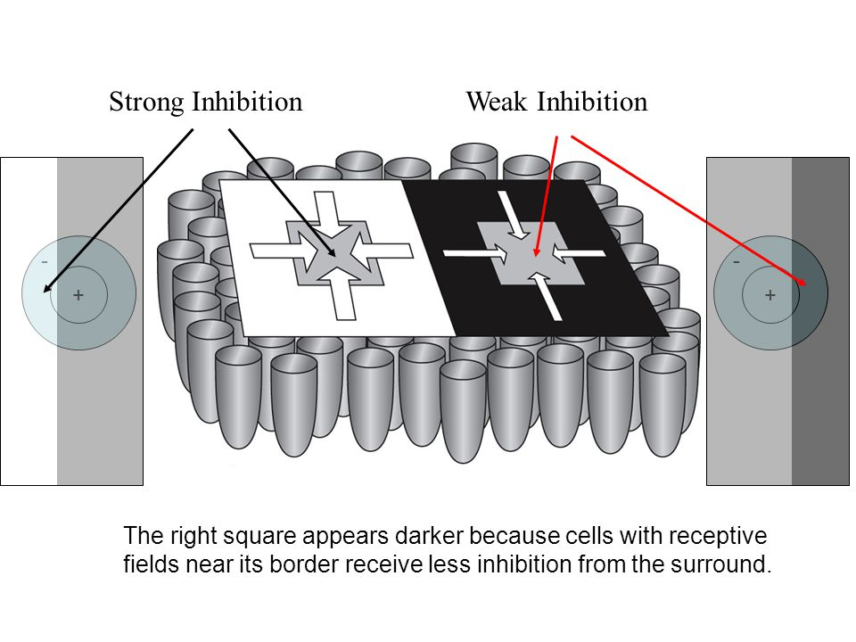 Strong InhibitionWeak Inhibition The right square appears darker because cells with receptive fields near its border receive less inhibition from the