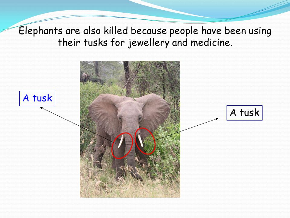 Elephants are also killed because people have been using their tusks for jewellery and medicine. A tusk
