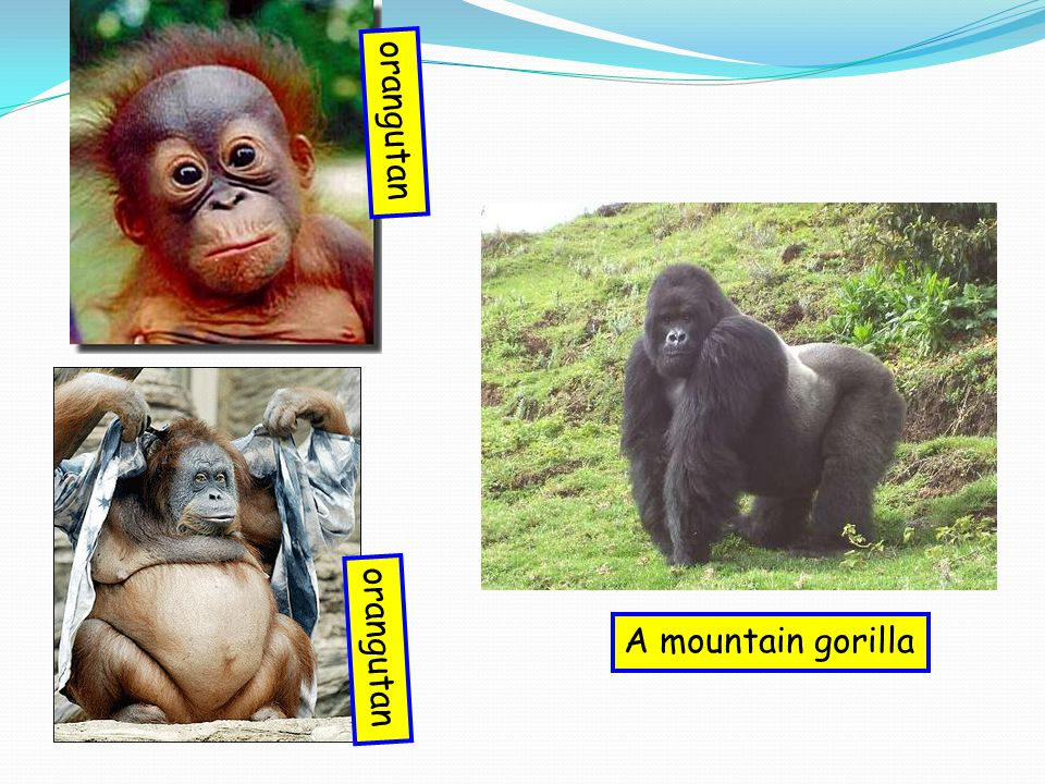 A mountain gorilla orangutan