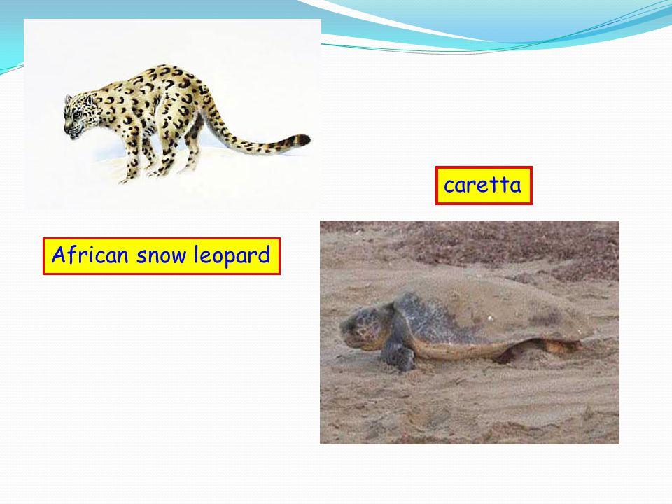 African snow leopard caretta