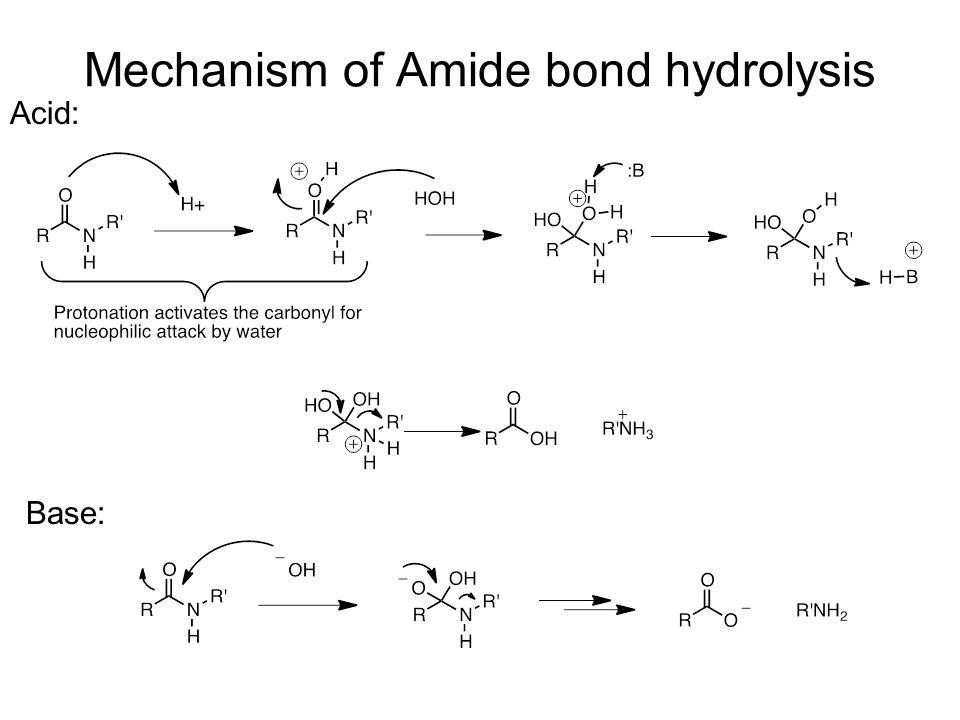 Mechanism of Amide bond hydrolysis Acid: Base: