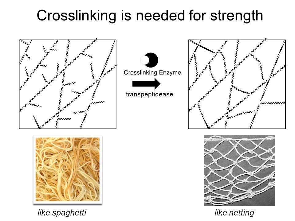 Crosslinking is needed for strength transpeptidease like spaghetti like netting