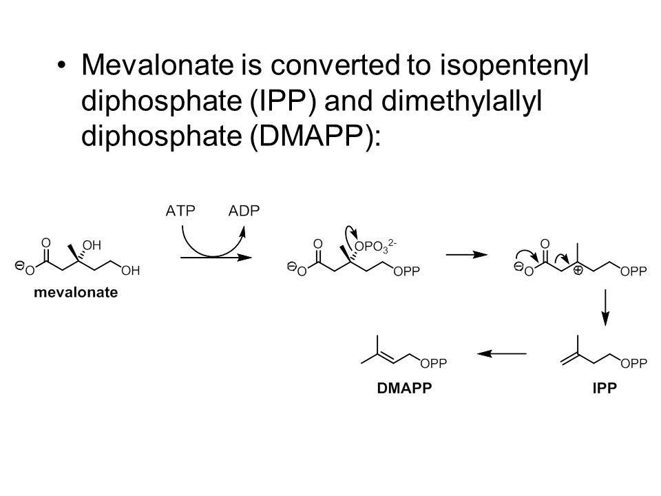 Mevalonate is converted to isopentenyl diphosphate (IPP) and dimethylallyl diphosphate (DMAPP):