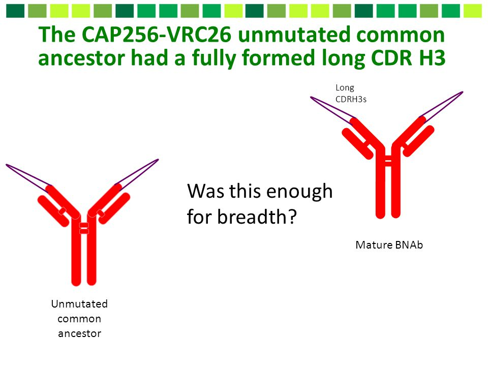Long CDRH3s The CAP256-VRC26 unmutated common ancestor had a fully formed long CDR H3 Was this enough for breadth? Mature BNAb Unmutated common ancest
