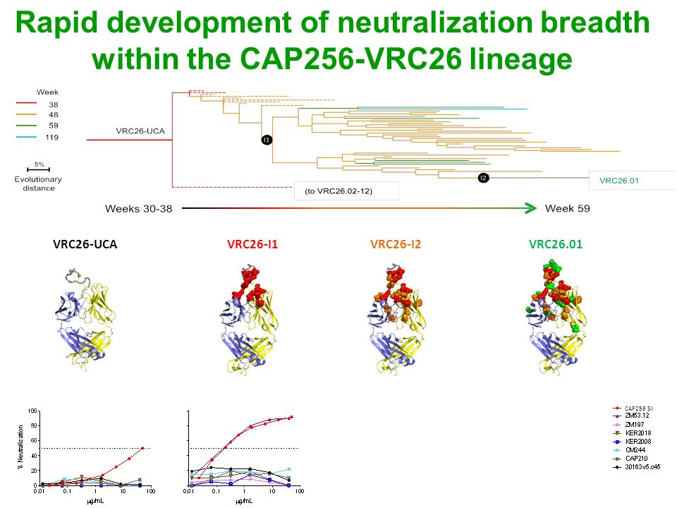 Rapid development of neutralization breadth within the CAP256-VRC26 lineage Chaim Schramm VRC26-I1VRC26-UCAVRC26-I2VRC26.01 CAP256 SII