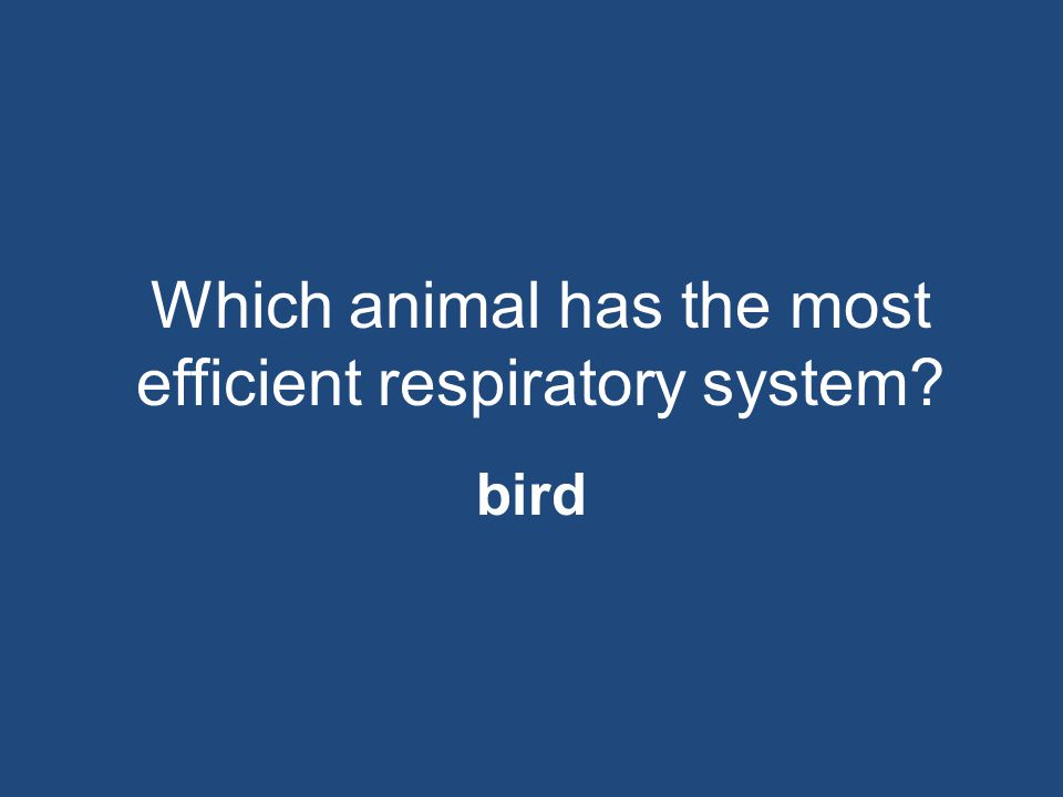 Which animal has the most efficient respiratory system? bird