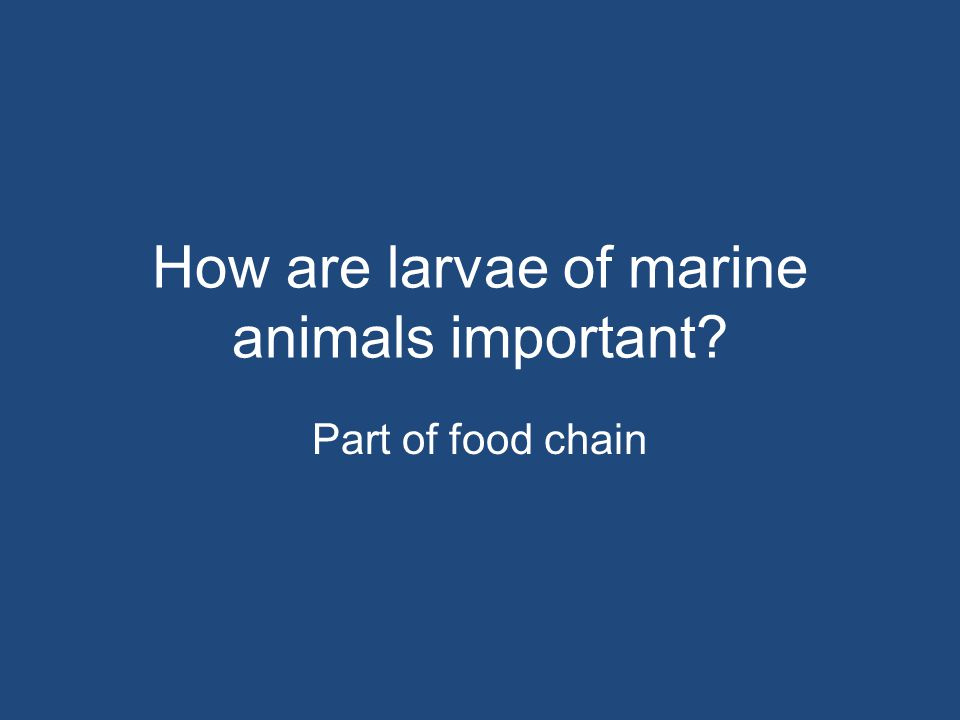 How are larvae of marine animals important? Part of food chain