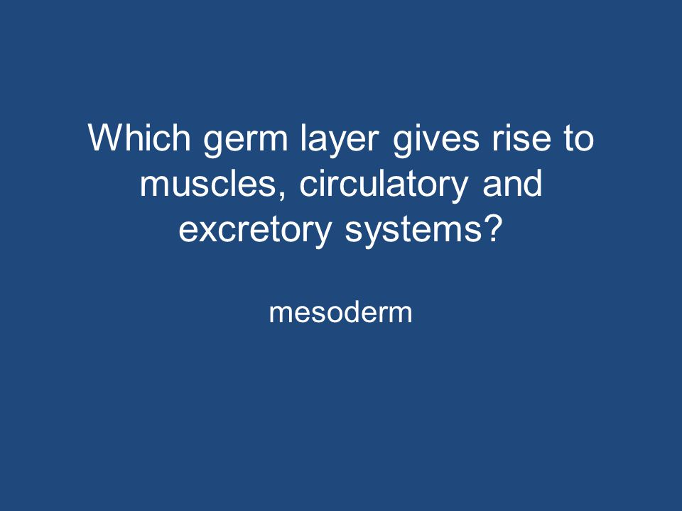Which germ layer gives rise to muscles, circulatory and excretory systems? mesoderm