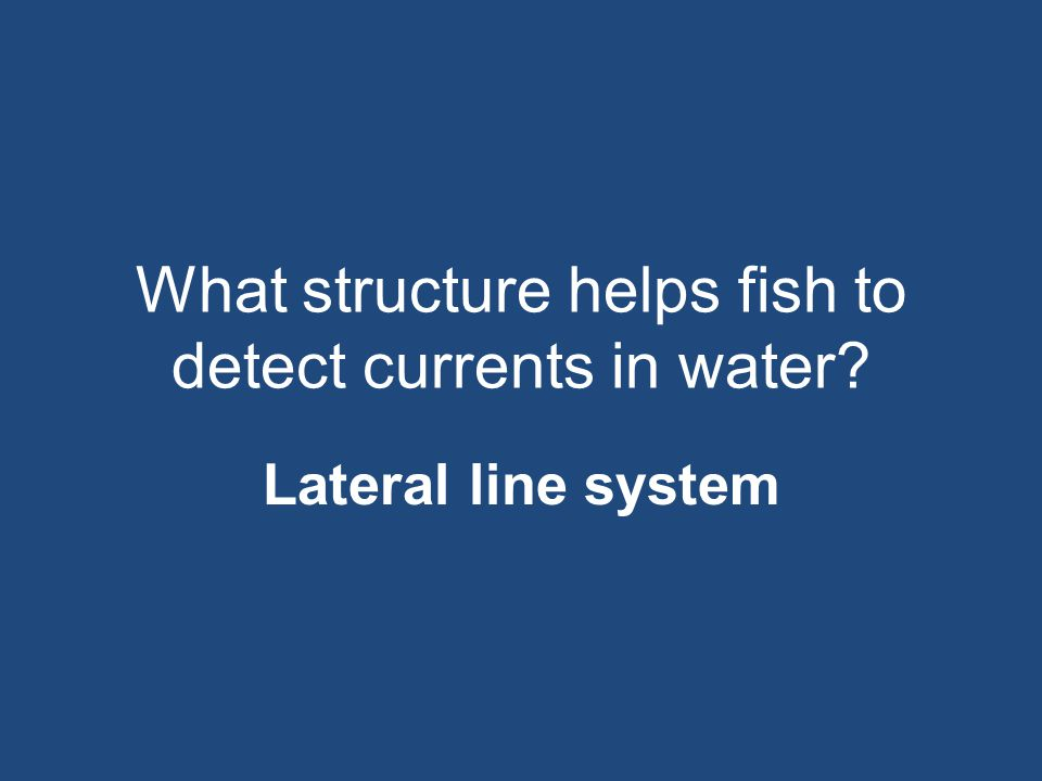 What structure helps fish to detect currents in water? Lateral line system