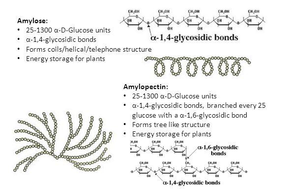 Amylose: 25-1300 α-D-Glucose units α-1,4-glycosidic bonds Forms coils/helical/telephone structure Energy storage for plants Amylopectin: 25-1300 α-D-G