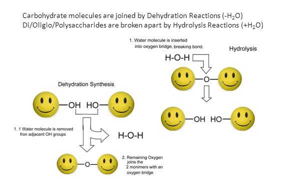 Carbohydrate molecules are joined by Dehydration Reactions (-H 2 O) Di/Oligio/Polysaccharides are broken apart by Hydrolysis Reactions (+H 2 O)