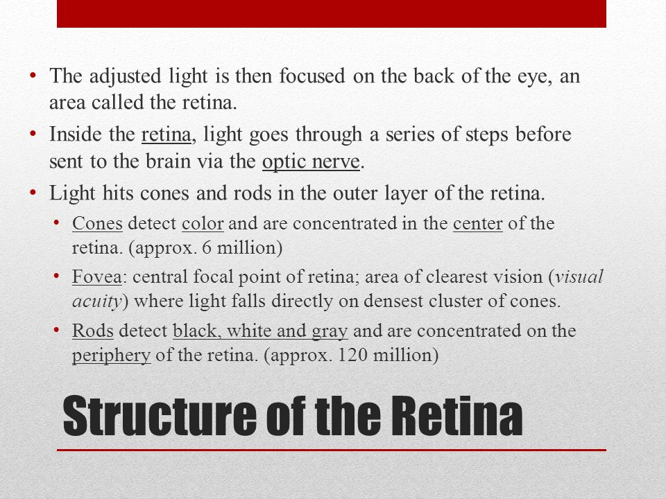 Structure of the Retina The adjusted light is then focused on the back of the eye, an area called the retina. Inside the retina, light goes through a