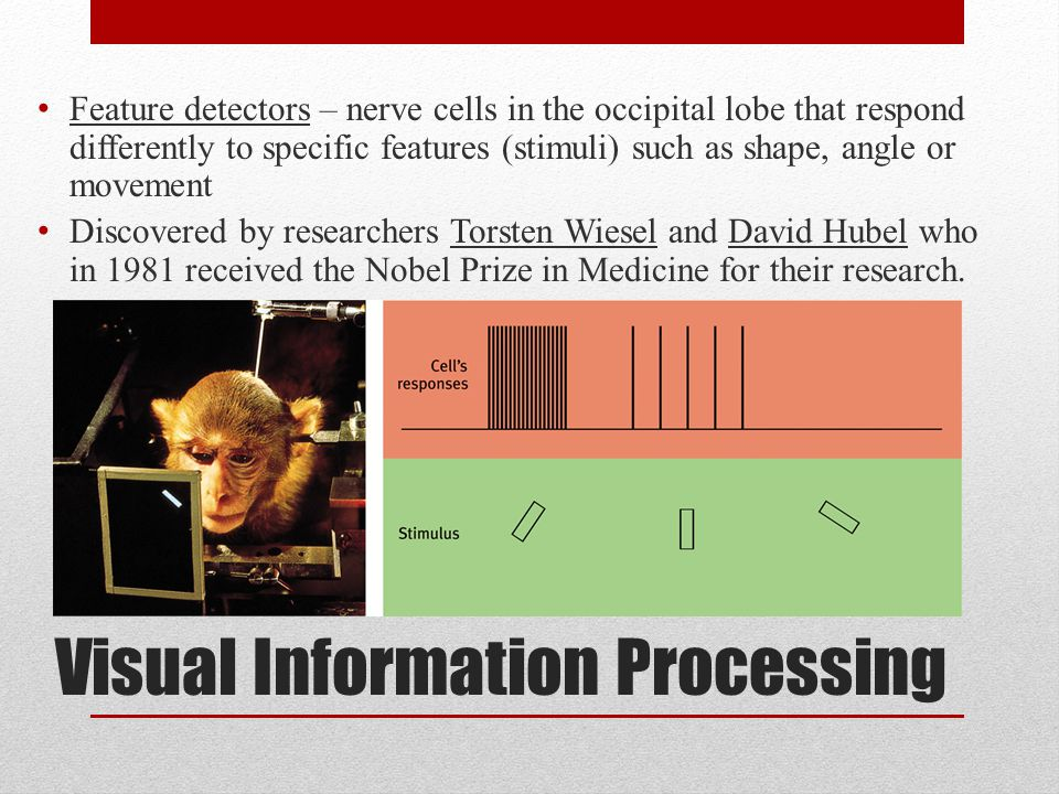 Visual Information Processing Feature detectors – nerve cells in the occipital lobe that respond differently to specific features (stimuli) such as shape, angle or movement Discovered by researchers Torsten Wiesel and David Hubel who in 1981 received the Nobel Prize in Medicine for their research.