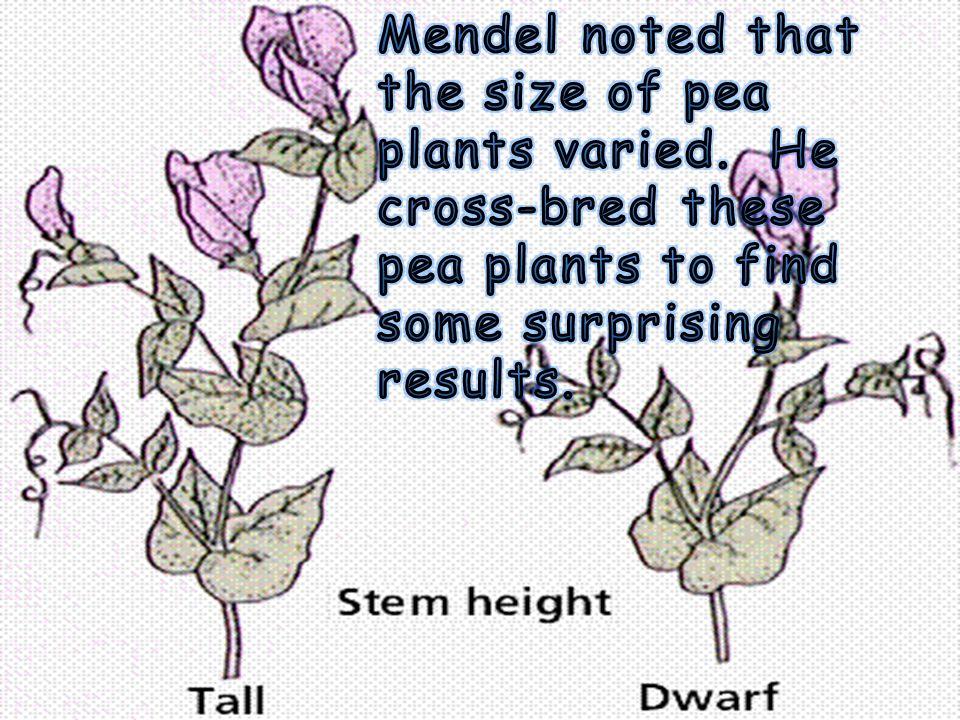 Why Mendel used peas...
