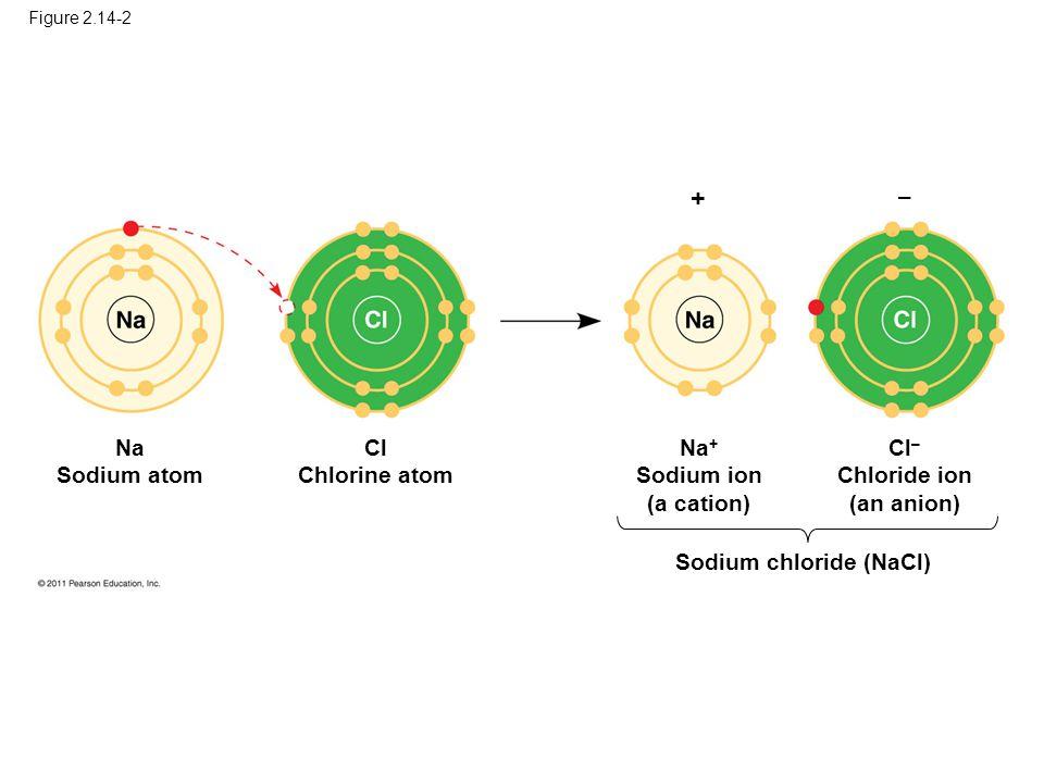 Figure 2.14-2 + – Na Sodium atom Cl Chlorine atom Na + Sodium ion (a cation) Cl – Chloride ion (an anion) Sodium chloride (NaCl)