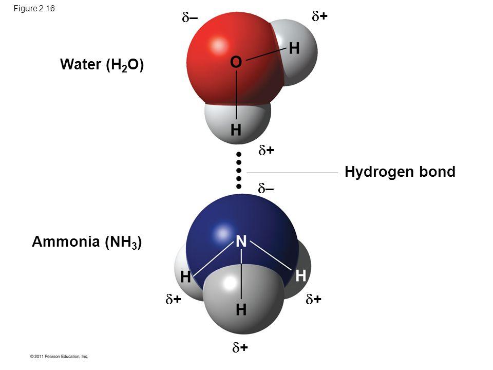 Figure 2.16 Water (H 2 O) Ammonia (NH 3 ) Hydrogen bond –– –– ++ ++ ++ ++ ++