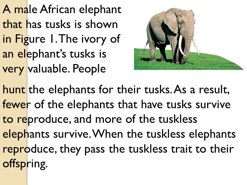 A male African elephant that has tusks is shown in Figure 1.