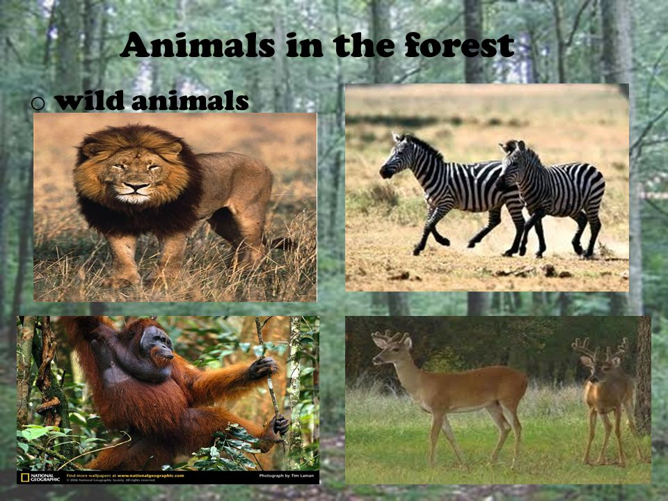 Animal Habitat  Animals live everywhere. An animals living place is called habitat.