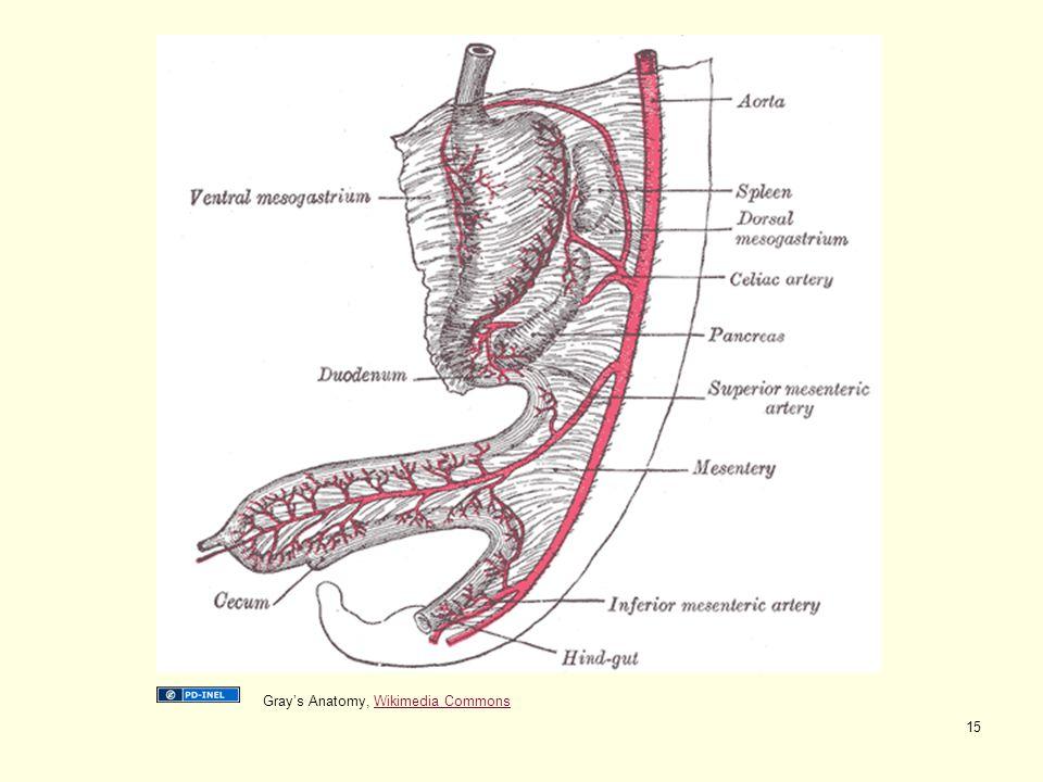 Gray's Anatomy, Wikimedia CommonsWikimedia Commons 15