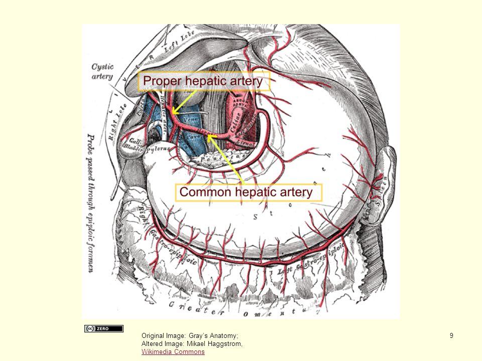 Original Image: Gray's Anatomy; Altered Image: Mikael Haggstrom, Wikimedia Commons Wikimedia Commons 9
