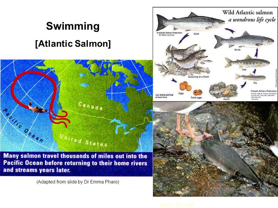 Swimming [Atlantic Salmon] (Adapted from slide by Dr Emma Pharo) Barry Kovish