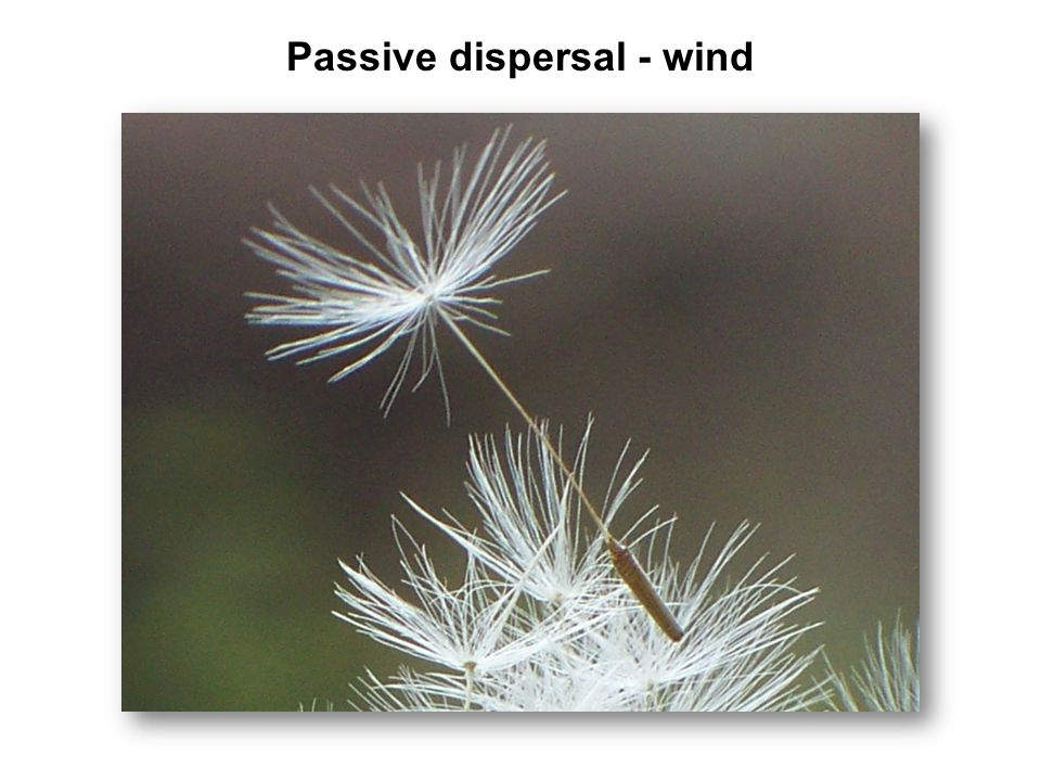 Passive dispersal - wind
