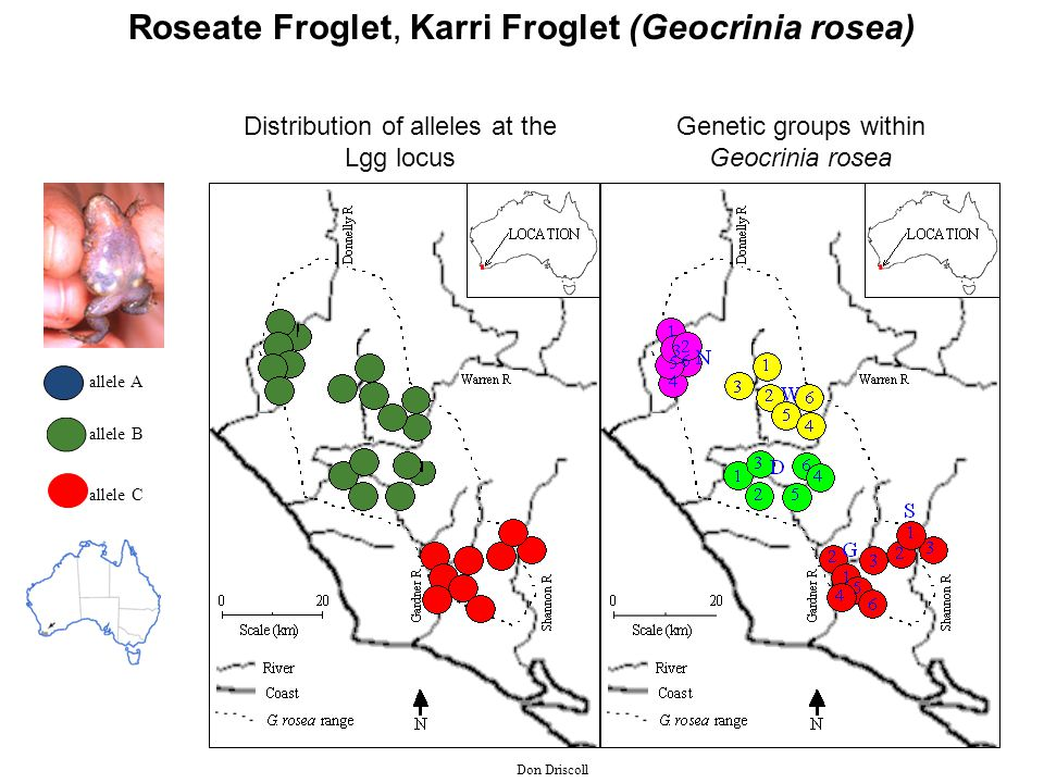 allele A allele B allele C Distribution of alleles at the Lgg locus Genetic groups within Geocrinia rosea Don Driscoll Roseate Froglet, Karri Froglet (Geocrinia rosea)