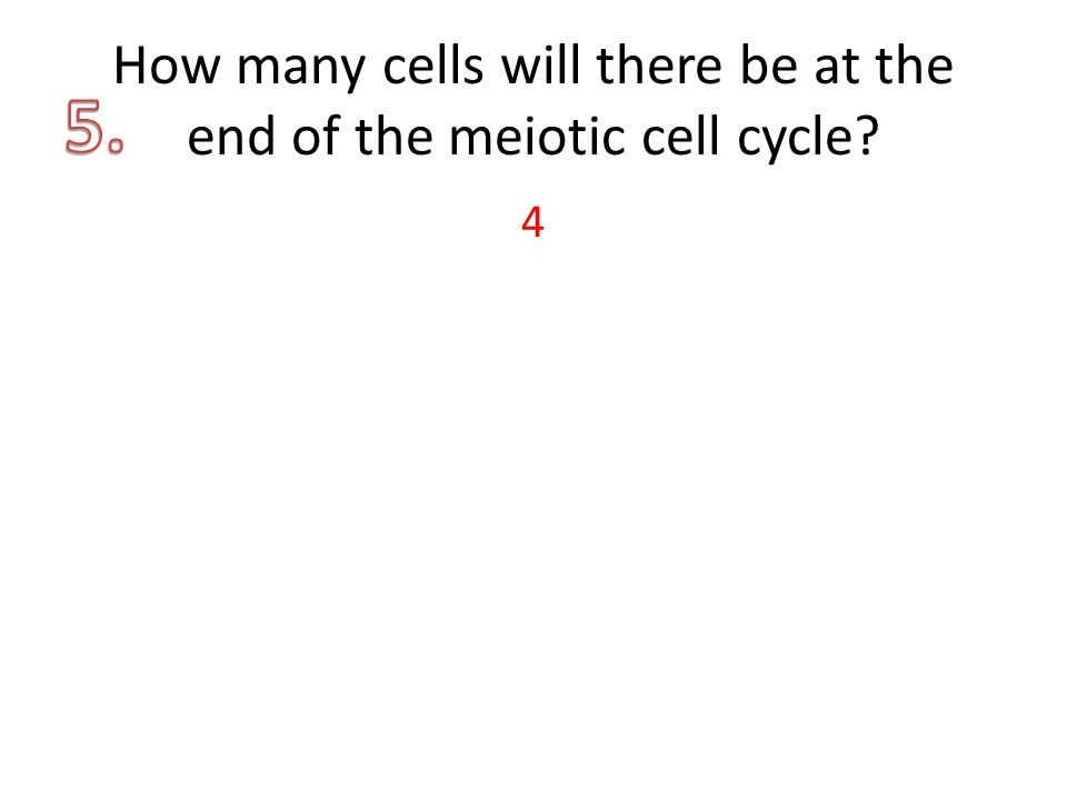 How many cells will there be at the end of the meiotic cell cycle 4