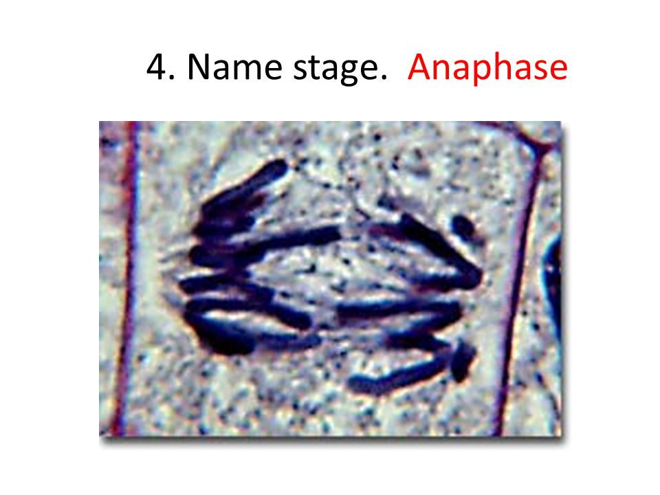 4. Name stage. Anaphase