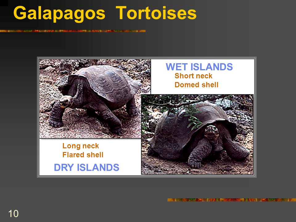 Galapagos Tortoises Long neck Flared shell Short neck Domed shell DRY ISLANDS WET ISLANDS 10